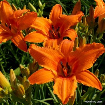 viendienės 'Orange Splash' (3)