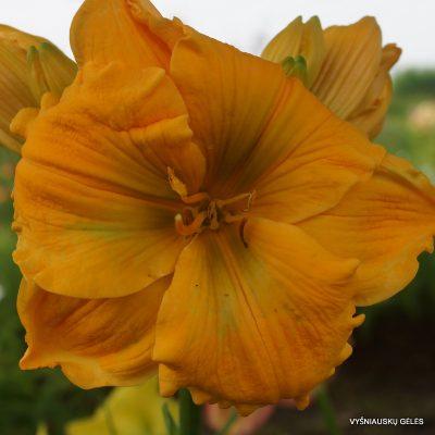 viendienės 'Golden Hibiscus'