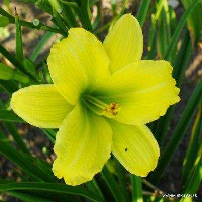 viendienės 'Green Flutter'