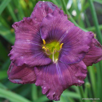 viendienės 'Lavender Blue Baby'