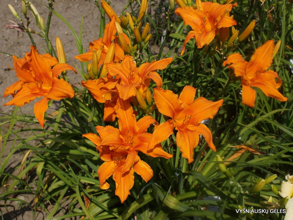 viendienės 'Orange Splash' (2)