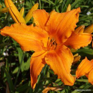 viendienės 'Orange Splash'