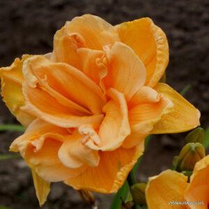 viendienės 'Peach Magnolia'
