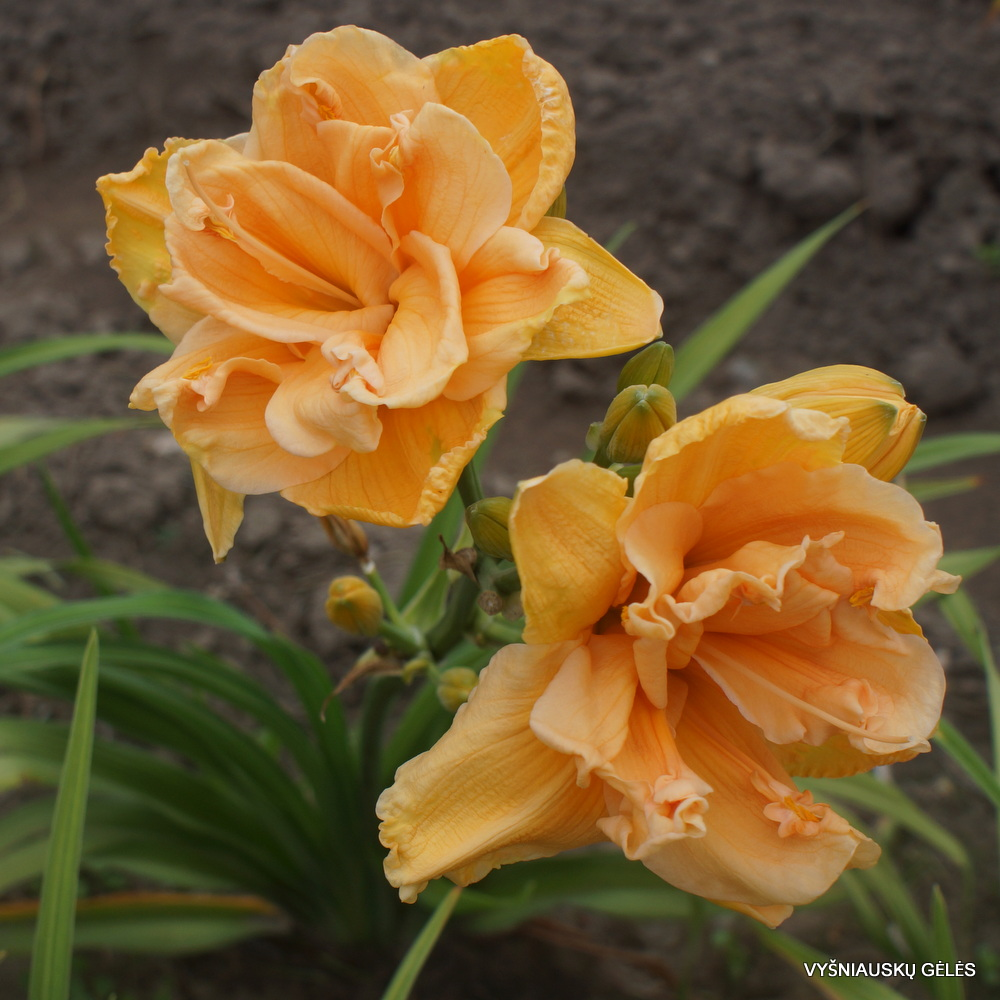 viendienės 'Peach Magnolia' (3)
