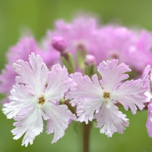 Primula sieboldii 'Dancing Ladies'