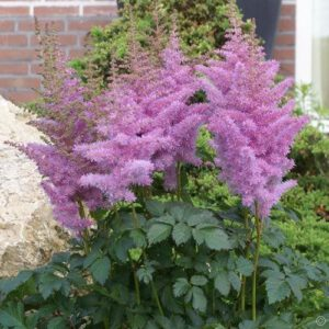 Astilbe 'Heart and Soul'
