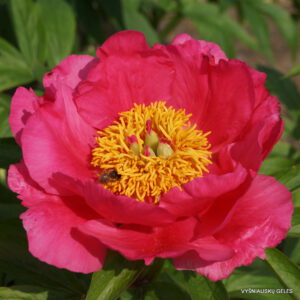 Bijūnas 'Rose Garland'