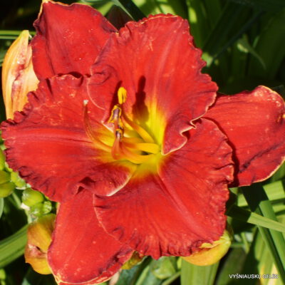 Daylily-Fire-on-the-Mountain-1