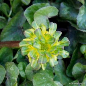 Ficaria verna 'Green Petal'