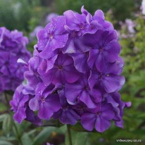 Flioksas 'Faberge'