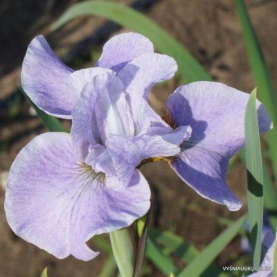 Iris-sibirica-At-the-Ballet-3