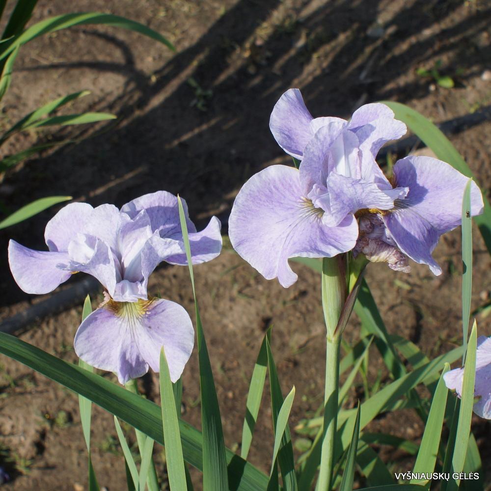 Iris-sibirica-At-the-Ballet-4