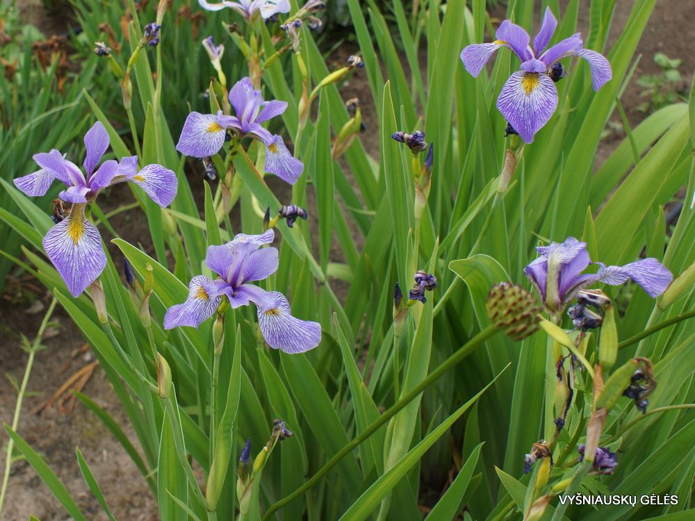 Iris x robusta 'Beetroot' (3)