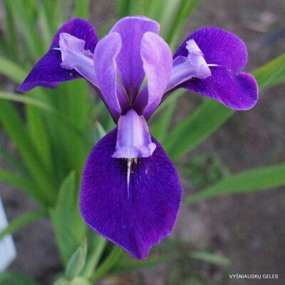 Iris x versilaev 'Fourfold Blue' (2)