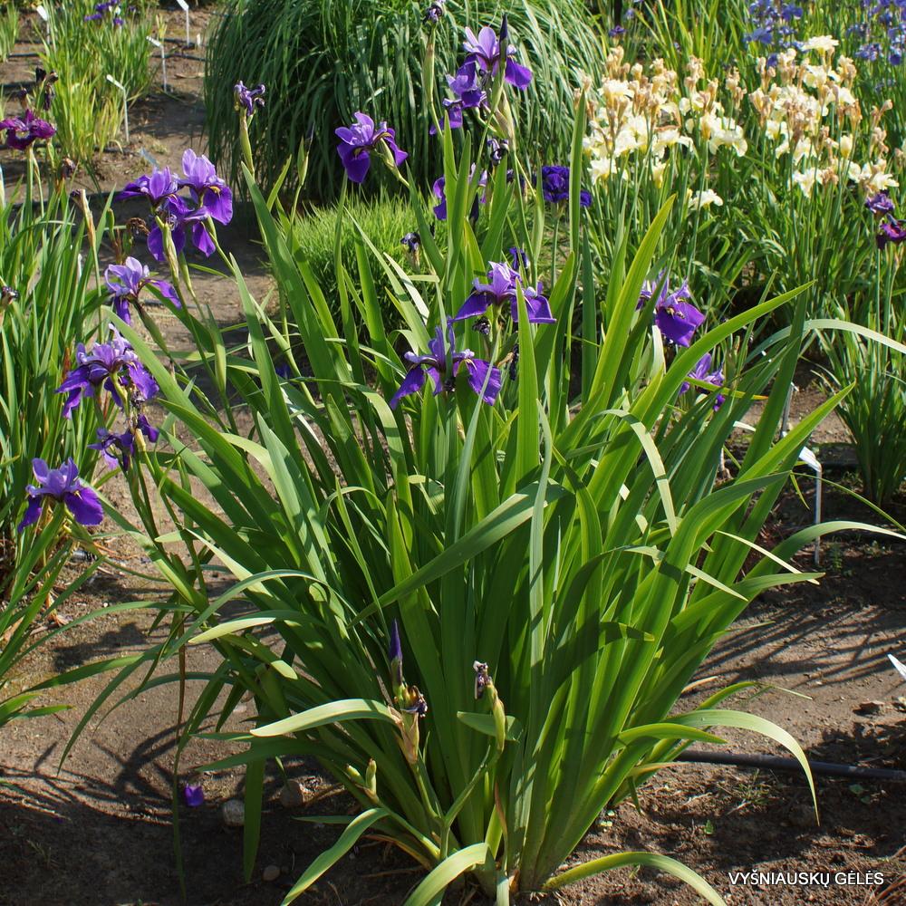 Iris x versilaev 'Fourfold Blue' (3)
