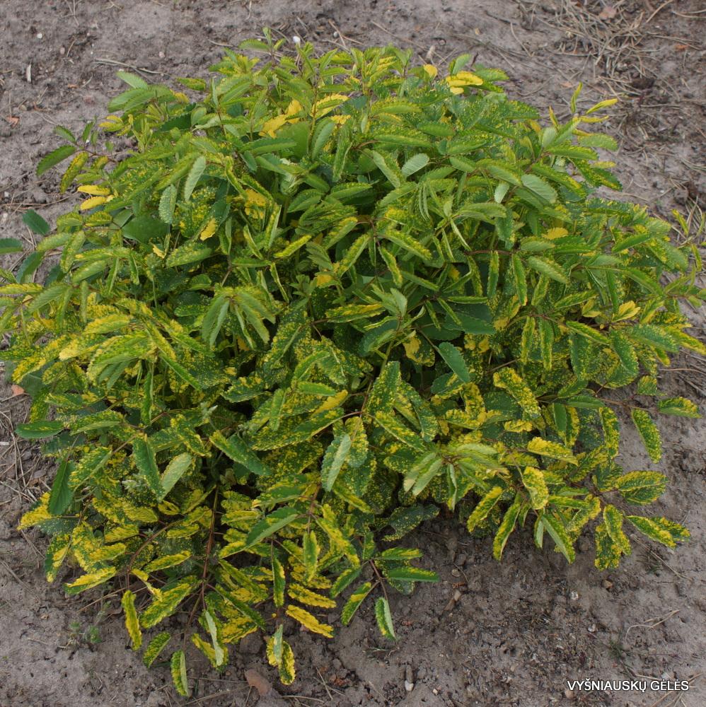 Sanguisorba officinalis 'Lemon Splash' (3)