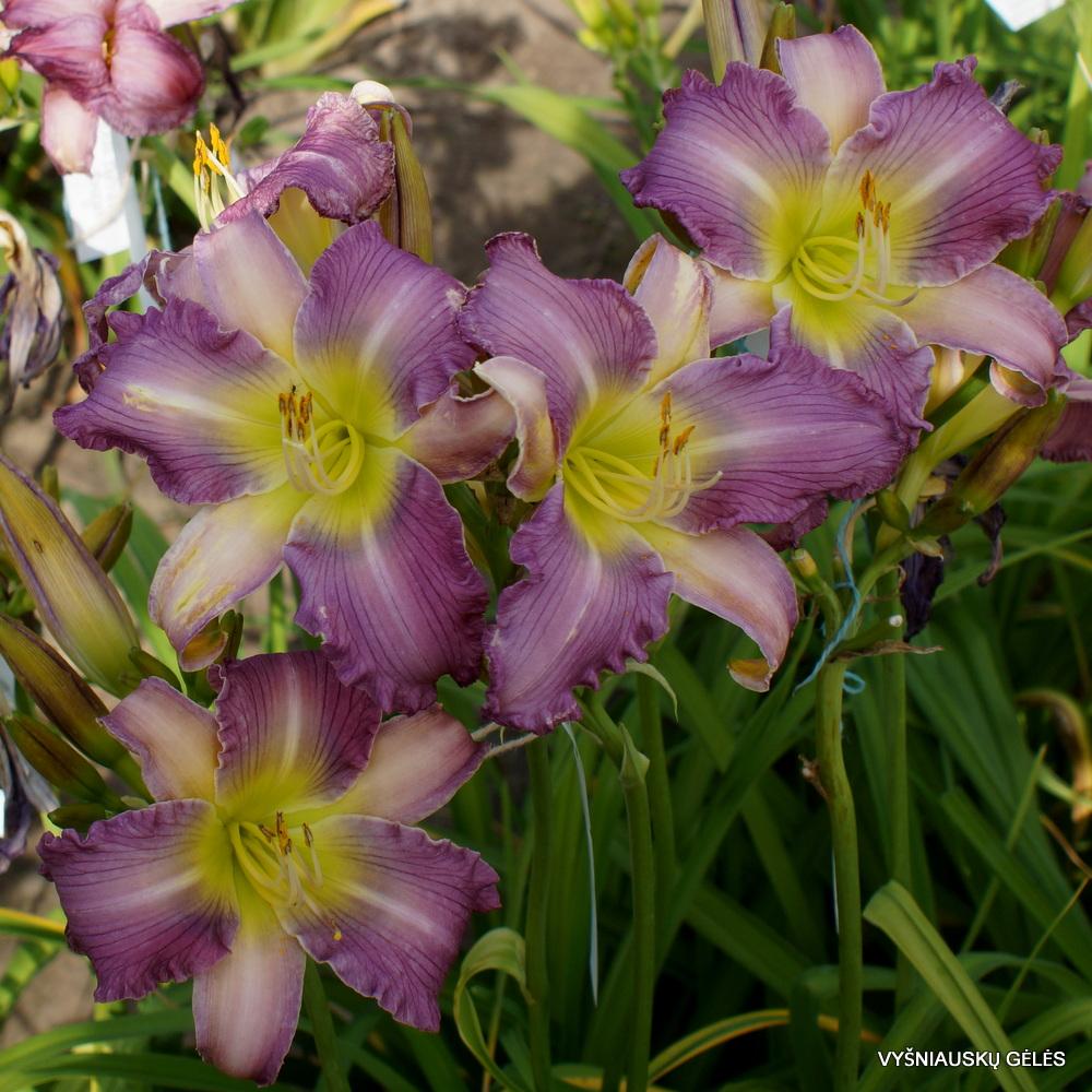 Viendienės 'Apatura Lavender Angel' (3)