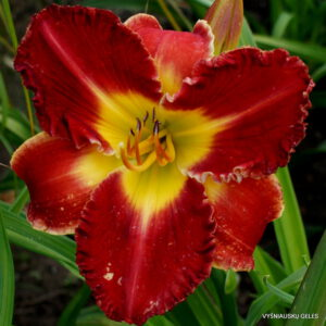 viendienė 'Bicolor Beautiful'