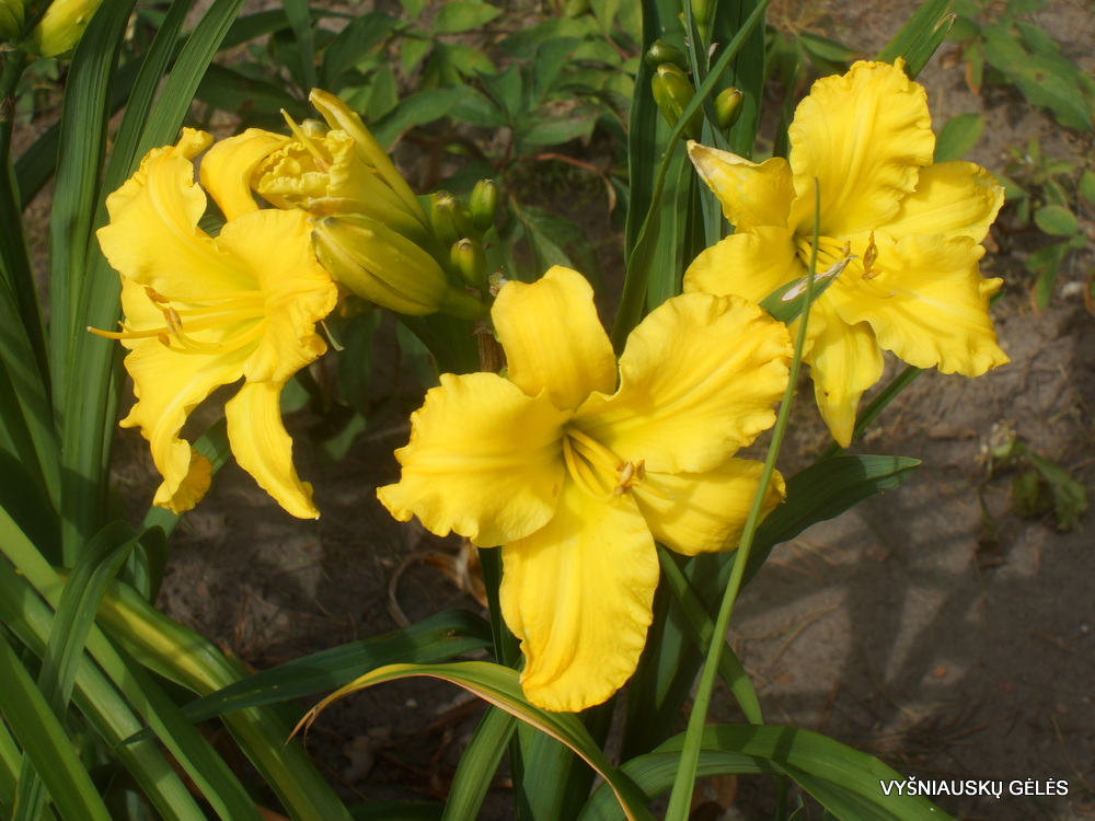 viendienė 'Golden Peace' (2)