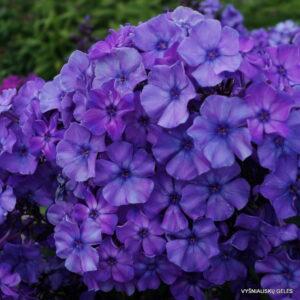 Phlox-'Blauer-Morgen'-1